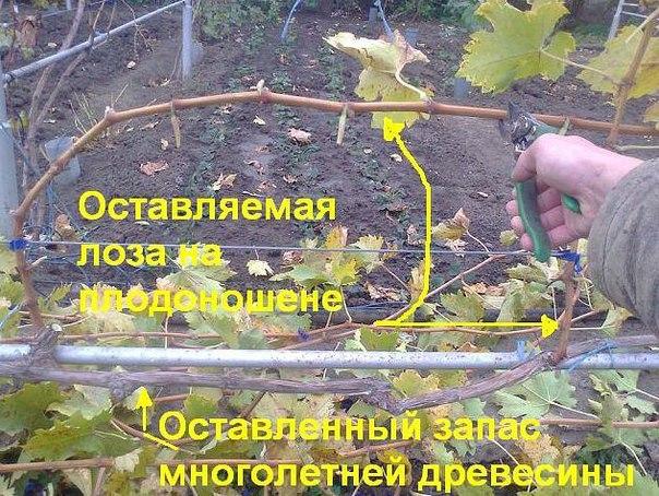 авайте попробуем разобраться — для чего нужна обрезка винограда И доступна ли обрезка винограда начинающим А так же как и когда правильно обрезать виноград