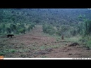 Первые кадры с черным леопардом за 100 лет