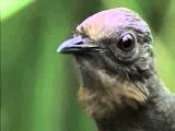 Большой лирохвост – одна из самых удивительных птиц в мире. Столь необычной ее делают две особенности – красивейший хвост, и умение перенимать и воспроизводить различные звуки.  Хвост птицы состоит из 16 перьев, крайние из которых изгибаются, принимая фор