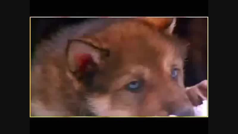 Таня Тишинская Волчица
