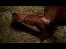 Клан Сопрано S04E05_17 Лошадь заболела, Ральф скинул это на Тони, прекрасная сцена в конюшне