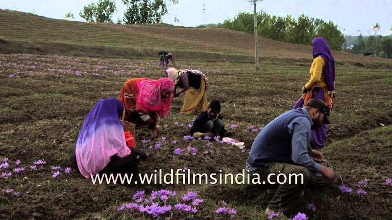 Saffron Harvest in Kashmir truly a family affair