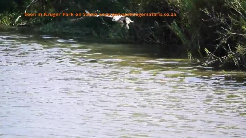 Большой нильский крокодил ест импалу