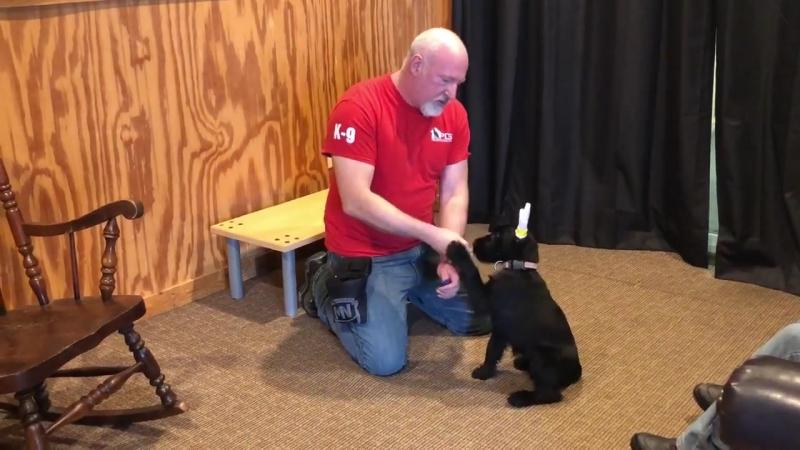 Qhinn von Prufenpuden 11 Wks Giant Schnauzer Puppy Early Obedience Training