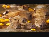 Capybara in hot citron bath