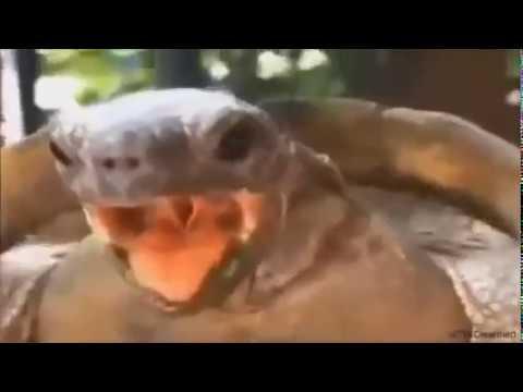 Żółw śpiewa piosenki !MUSISZ ZOBACZYĆ!