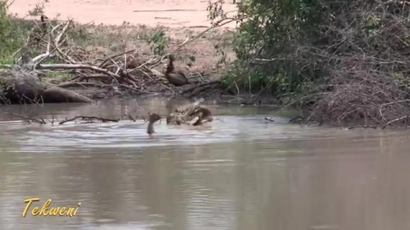 Крокодил разрывает импалу