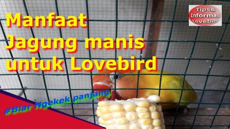 LUAR BIASA||Manfaat Jagung Untuk Lovebird sampai konslet