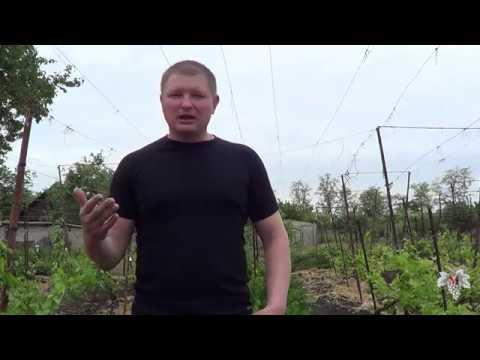 Мульчировать или не мульчировать виноградник. Виноград 2018.