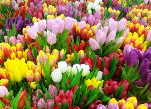 Тюльпаны особенности посадки, выращивания и ухода. Когда и как сажать Весна пора, когда просыпается природа и появляются цветы, вестники первых теплых солнечных лучей. Также просыпается и