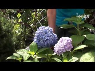 Голубые гортензии   как сохранить цвет. Сайт