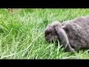 Выпускница питомника карликовых декоративных кроликов Бакс Банни