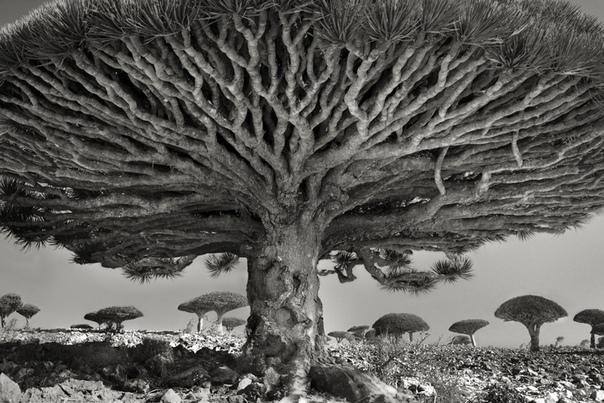 Фотопроект Бет Мун «Портреты времени» 14 лет своей жизни фотограф Бет Мун из Сан-Франциско посвятила тому, что находила и фотографировала старейшие деревья на планете. Она объездила весь мир,