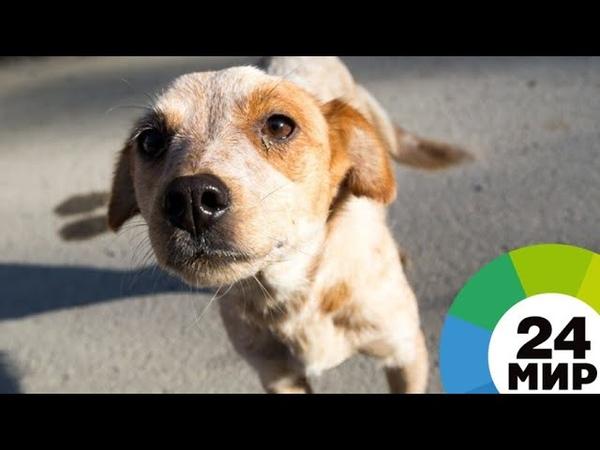 Поставить на лапы супружеская пара из Подмосковья спасает покалеченных собак - МИР 24