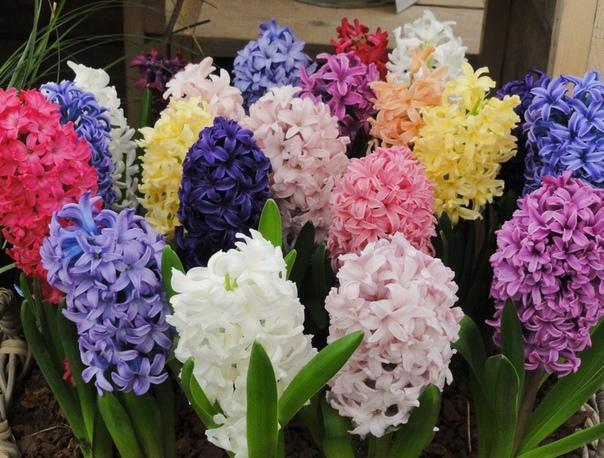 гиацинт цветок дождя гиацинты давно покорили меня своей неповторимой красотой и дивным ароматом. эти изысканные луковичные растения появляются из-под снега уже с бутонами. зацветают они с