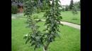 Один из примеров формирования колоновидной яблони