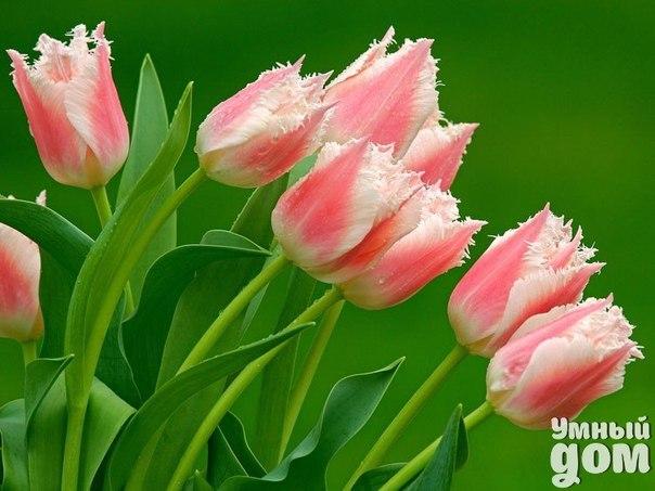 Уход за тюльпанами. Перед посадкой тюльпанов определитесь с местом на даче: тюльпаны очень выгодно смотрятся на фоне зеленого газона, но такая посадка должна быть достаточно большой – 30-50 шт. Лучшая глубина для посадки 10-12 см, а расстояние между луковицами 8-10 см. Верхний слой дерна снимают, насыпают песок слоем 2-3 см, размещают луковицы в виде круга или квадрата. Потом присыпают песком и плодородной почвой. Не очень плотный газон прикрывают дерном. Если же у вас нет дачного газона,…