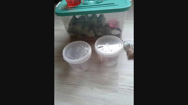 Кормим гекконов таракашками
