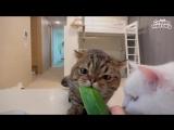 кот ест огурец