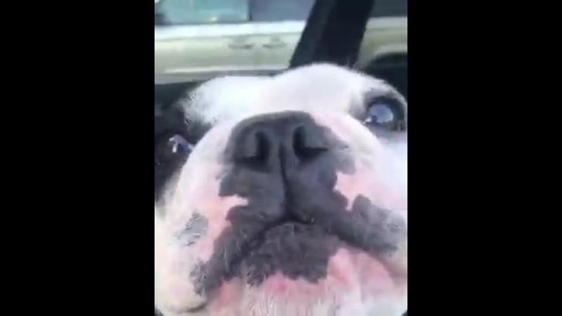 Что он делает?) (хорошее настроение, пёсик, собака, смешное видео, собака в машине, поёт или орёт, веселое, смех, юмор за рулем)