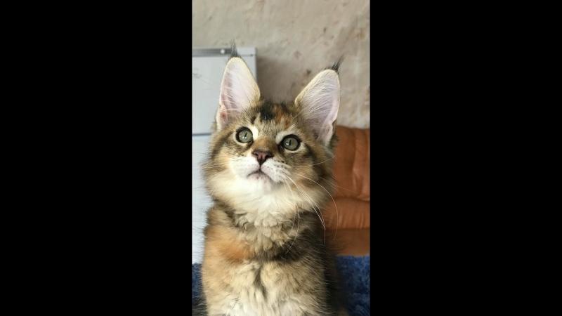 котенок девочка мейн кун Christie Volga Pride