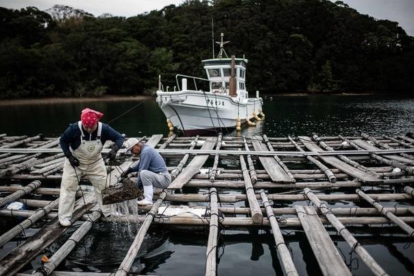 Ферма по выращиванию жемчуга в Японии Япония по-прежнему доминирует на мировом рынке культивированного жемчуга, несмотря на падение числа специализированных производств жемчуга. Одно из немногих