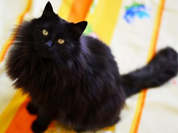 Сегодня на Гурьева 18 пропал кот домашний с жёлтым ошейником, откликается на кличку Бодайка, он пугливый, крупный, на улицу ни разу не выходил, непонятно, как пропал из квартиры.