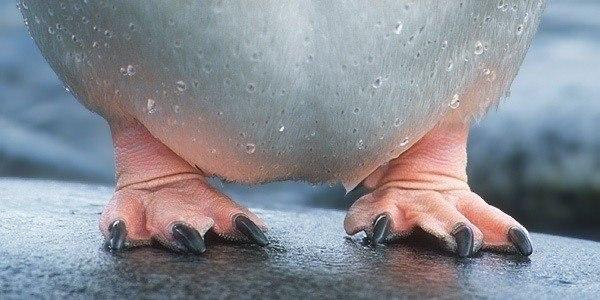 Почему у пингвинов не мерзнут ступни Пингвин интереснейшее, уникальное существо. Кроме того, что это единственная птица на планете, умеющая плавать, но не умеющая летать, из всех современных