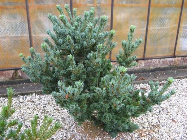 Сосна мелкоцветковая Растение древесной формы, высотой 20-25 м. Встречаются многоствольные виды. В культурных посадках растет медленно, к 25 годам жизни достигая в высоту два с половиной метра.