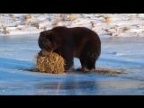 Этот медведь никогда не был так счастлив