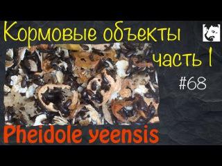 Туркменский таракан / жук знахарь муравьи Pheidole yeensis 68