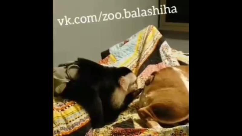 Обезьяна издевается над собакой. Приколы с животными. Ржач. Домашние животные Балашиха, Москва, Люберцы, Реутов, Щелково, Железн