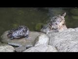 Черепахи и декоративные рыбы в парке М.Горького г. Таганрог...