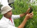 ПЕРСИК. Новый метод обрезки персика летом. Как обрезать персик чтобы плоды стали крупнее.
