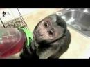 Приколи про тварин квітень випуск 12 Мавпи рулят.
