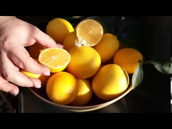 Лимон Мейера, комнатный лимон купить и уход за домашним цитрусом