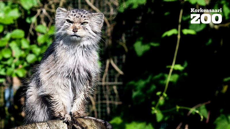 Lovely Morning of Pallas Cat