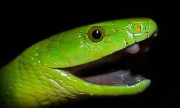 Зелёная мамба картинка