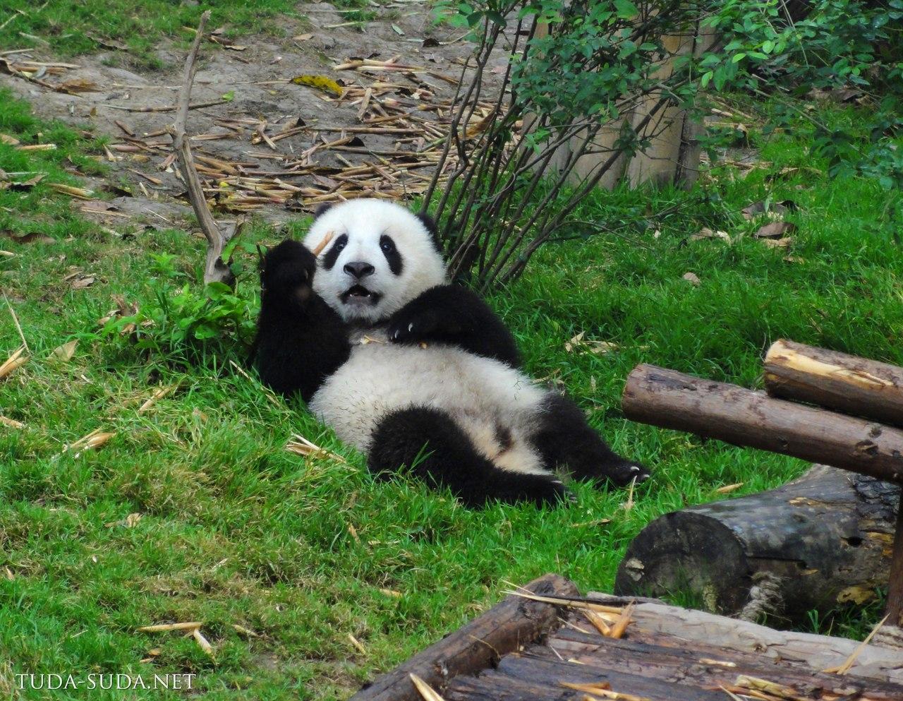 Еда панды