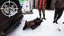Охота 190 на кабана, загонная, с собаками