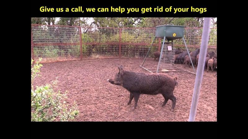 Short 29 Hogs Caught 2