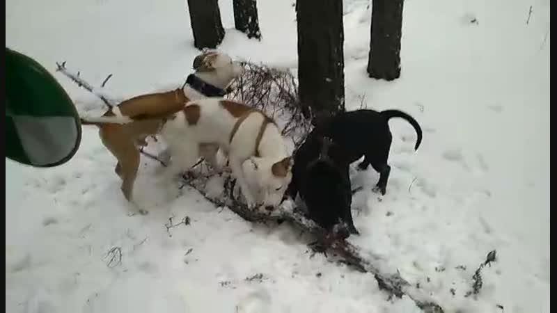 16.12.2018 вот так стаффики всегда любят приветствовать, не забудьте, если проходить мимо наших собак, они могут прыгнуть и лизн