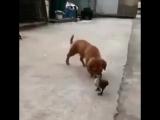 супер прикол )утка укусила пса за письку)))