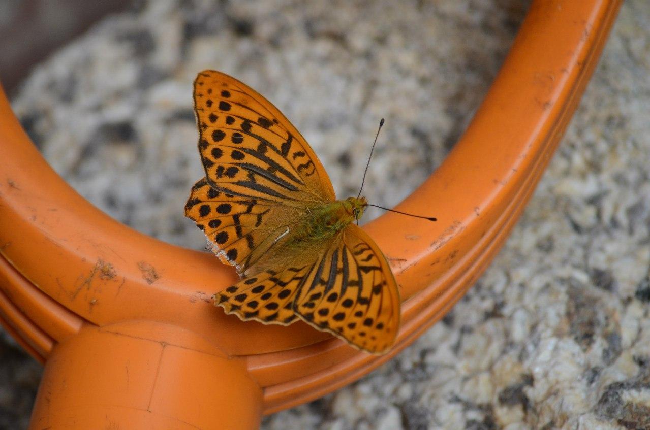 бабочка (06.11.2014)