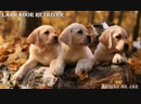 продаются щенки лабрадоров от двух Интерчемпионов