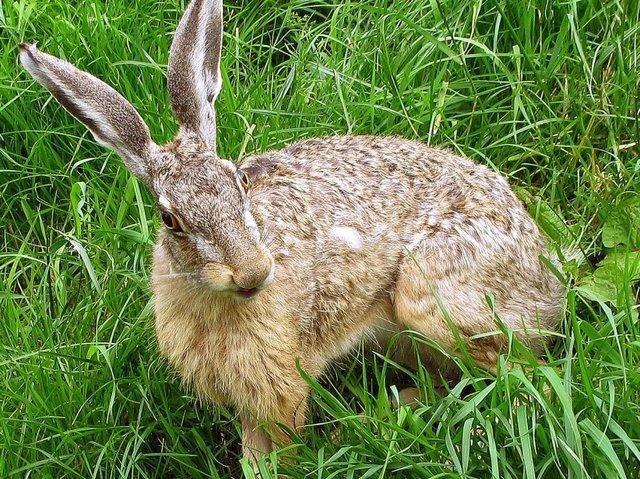 Везучий заяц из Германии