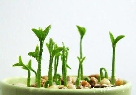 ВЫРАЩИВАЕМ ГРЕЙПФРУТ ИЛИ ЛИМОН ДОМА Создайте маленький зеленый уголок у себя на столе. Эта пышная, выросшая в обычной чашке зелень, будет радовать ваш взгляд, очистит воздух в комнате и наполнит