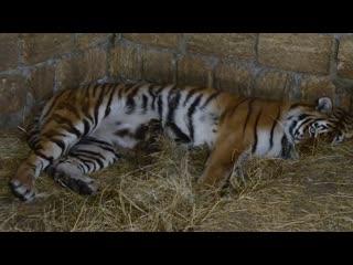 Тигрица кормит малыша ! Мы в вольере !Tigress feeds the baby! We are in the avia