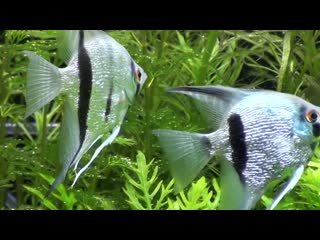Beautiful Diamond Blue Angel pair (Pterophyllum Scalare) searching for spawning