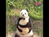 Мама панда с малышом